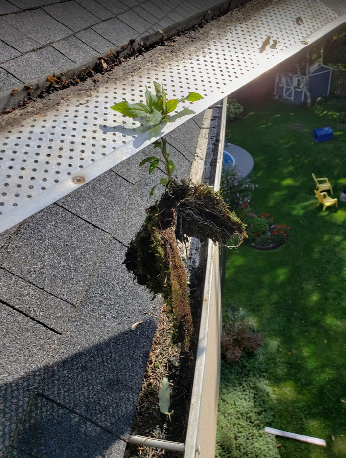 tree grows in the customer eavestrough